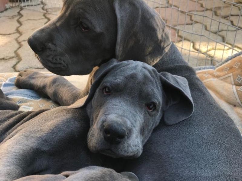 Cuccioli di Alano Blu Napoli - Annunci Zampettando