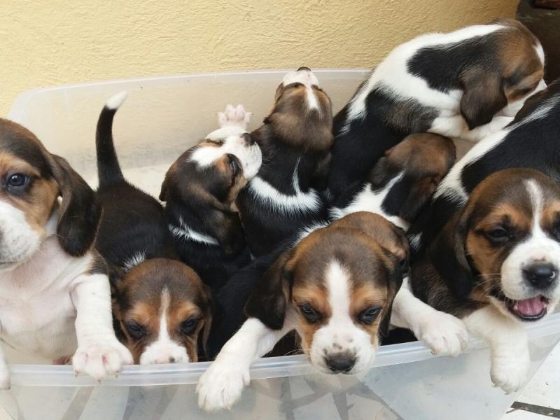 Cuccioli Beagle Napoli - Annunci Zampettando