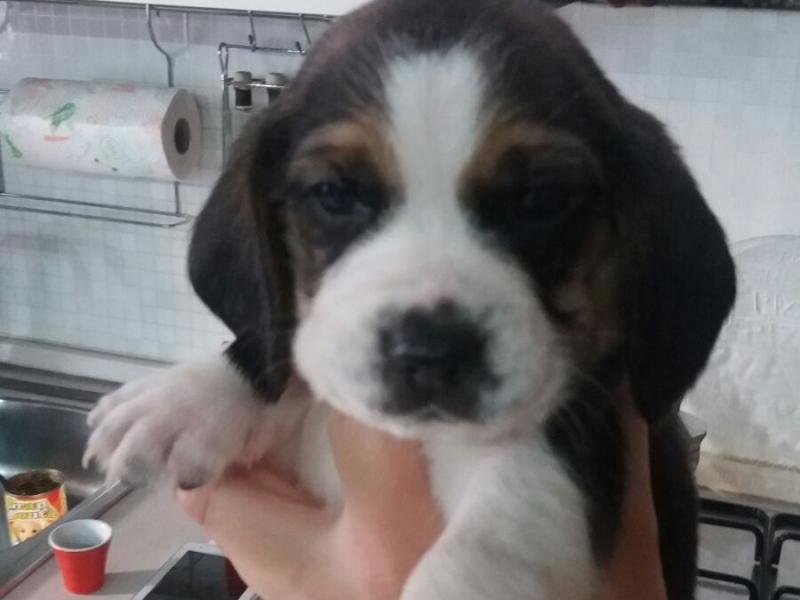 Cuccioli Beagle Napoli id. 13987