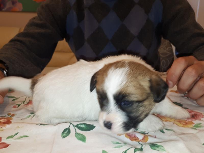 Disponibili cuccioli di Jacke Russell Terrier  Napoli id. 17013