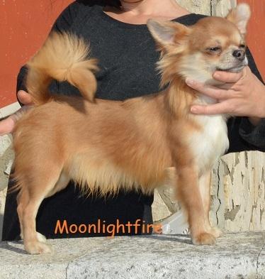 Chihuahua maschio con pedigree Avellino - Annunci Zampettando