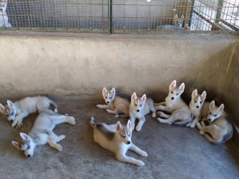Cuccioli di Siberian Hushy Avellino - Annunci Zampettando