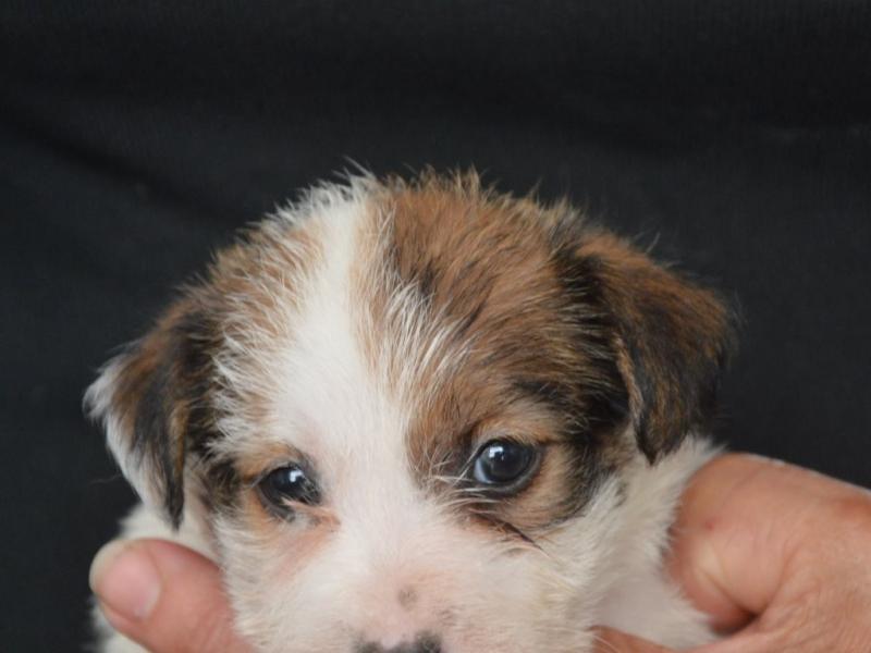 Jack Russell Terrier - Cuccioli Altamente Selezionati Salerno - Annunci Zampettando