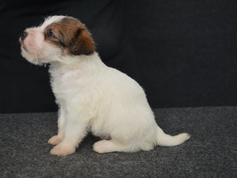 Jack Russell Terrier - Cuccioli Altamente Selezionati Salerno id. 16758