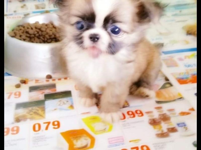 Chihuahua mini toy Salerno id. 16874