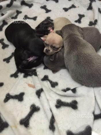 cuccioli di chihuahua Foggia - Annunci Zampettando