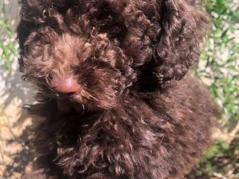 Cucciolo barboncino toy marrone con pedigree ENCI Bari - Annunci Zampettando
