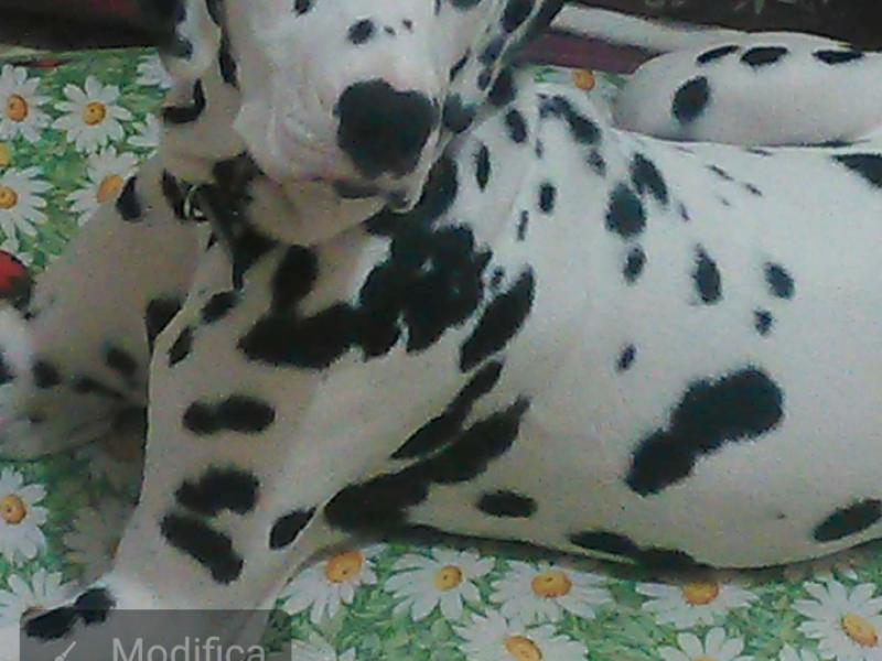 Si accettano prenotazioni per cuccioli di dalmata  Bari - Annunci Zampettando
