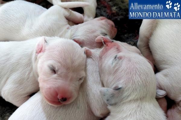 Prestigiosi cuccioli dalmata con pedigree Cosenza - Annunci Zampettando