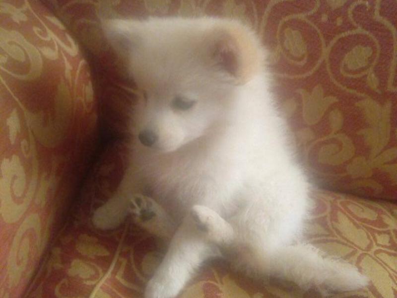 vendesi cuccioli di volpini di pomerania Cosenza - Annunci Zampettando