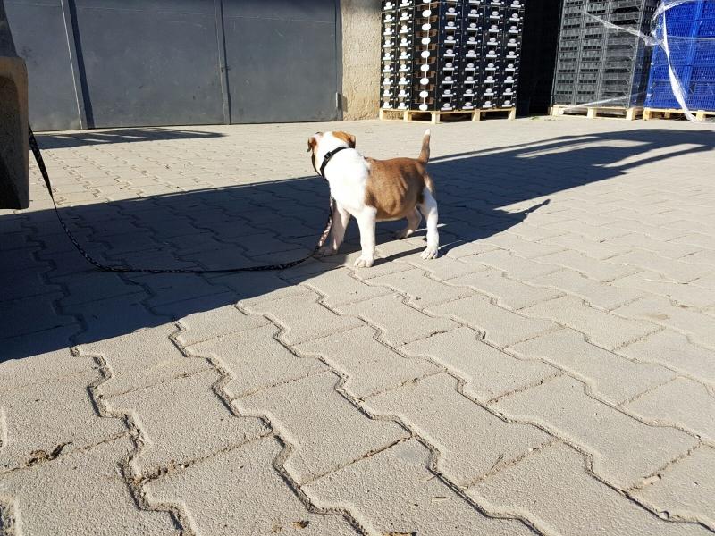 Vendo cucciolo di bulldog americano Cosenza id. 15321