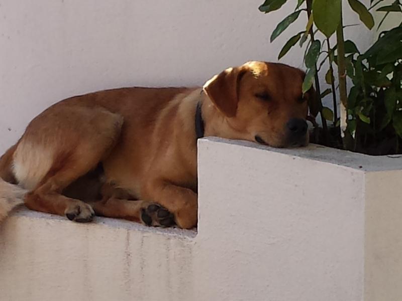 regalo cane di taglia media incrocio con labrador  Catanzaro - Annunci Zampettando