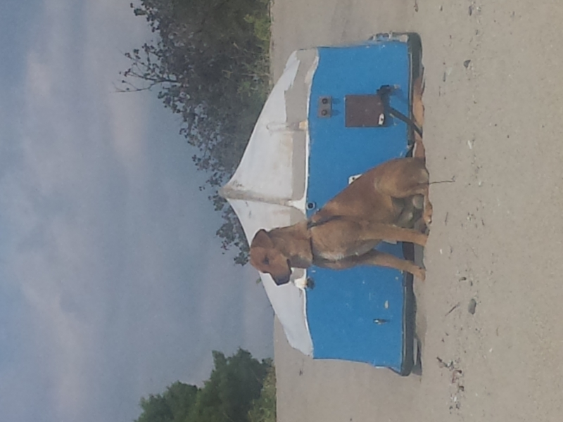 regalo cane di taglia media incrocio con labrador  Catanzaro id. 15006