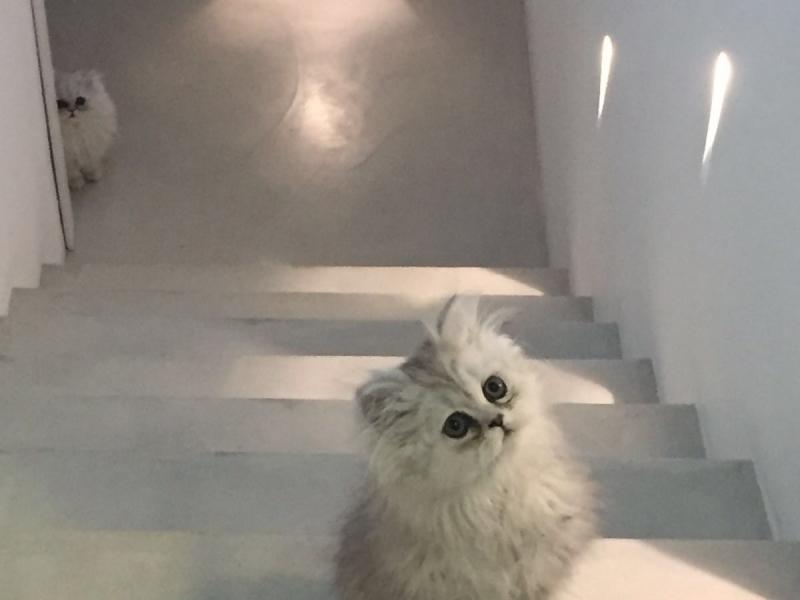 vendo cucciole di persiano chinchilla sikver e smoke Monza e della Brianza - Annunci Zampettando