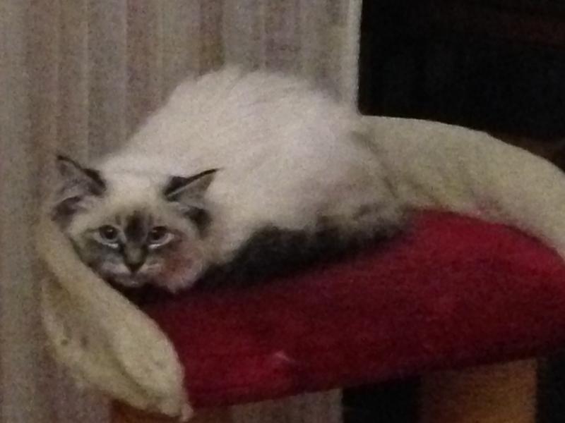 Cucciola di gatto siberiano Monza e della Brianza - Annunci Zampettando