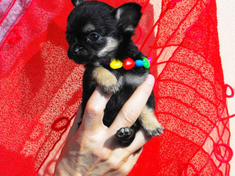 Chihuahua Toy Varese id. 15055