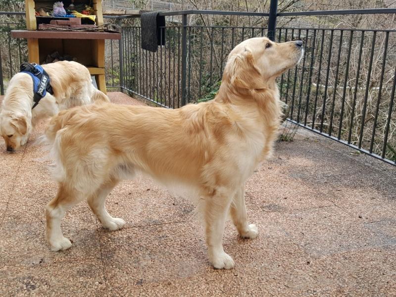 Cuccioli di Golden retriever  Varese - Annunci Zampettando