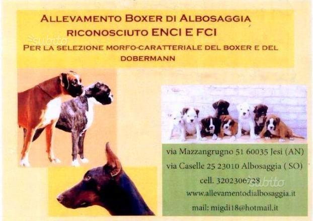 Allevamento di Boxer di Albosaggia Sondrio - Annunci Zampettando