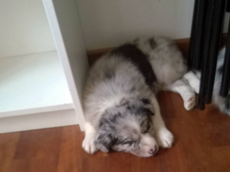 Cuccioli di Border Collie con Pedigree Milano id. 15852