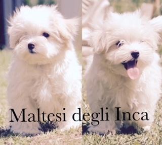 cuccioli maltese, molto piccoli con importante pedigree Milano id. 15744