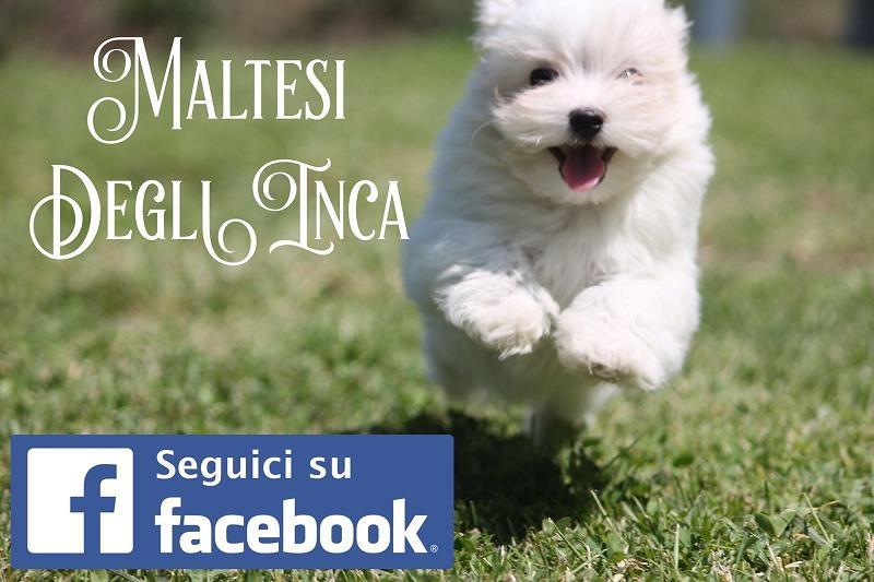 cuccioli maltese, molto piccoli con importante pedigree Milano - Annunci Zampettando