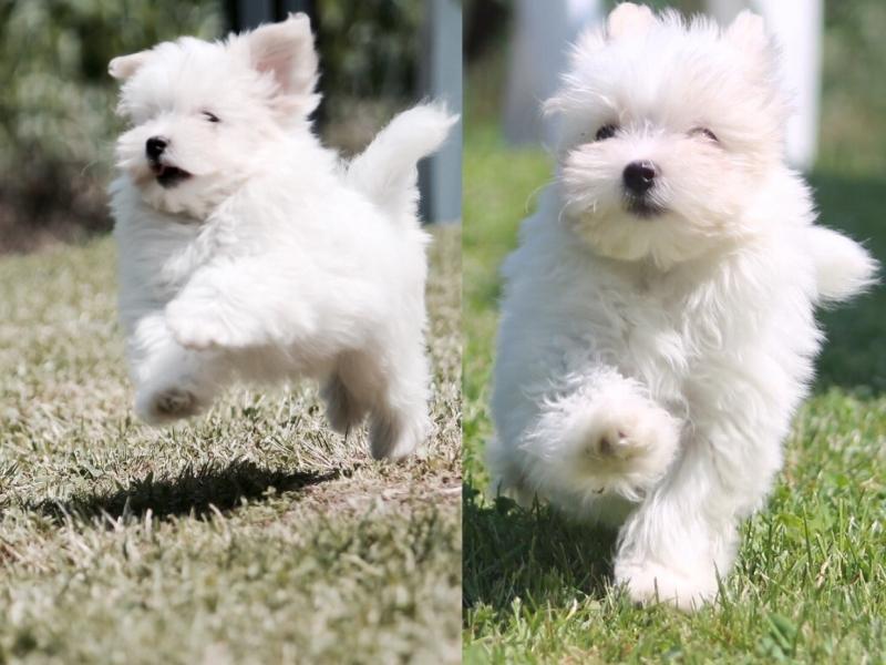 allevamento maltesi cuccioli disponibili Milano id. 16101
