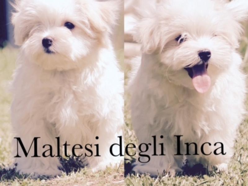 allevamento maltesi cuccioli disponibili Milano - Annunci Zampettando