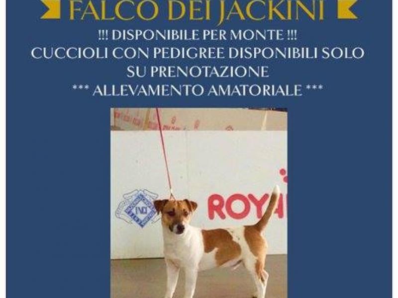 Maschio con pedigree per accoppiamento Milano id. 16683