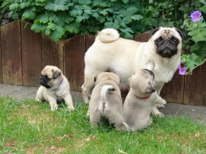 Disponibili cuccioli di Carlno Bergamo - Annunci Zampettando