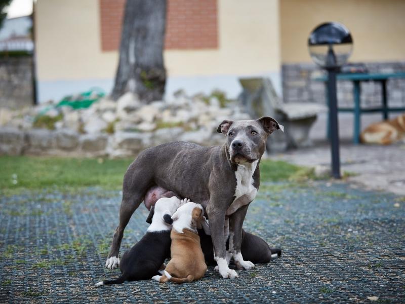 Cuccioli di Amstaff Bergamo id. 16059