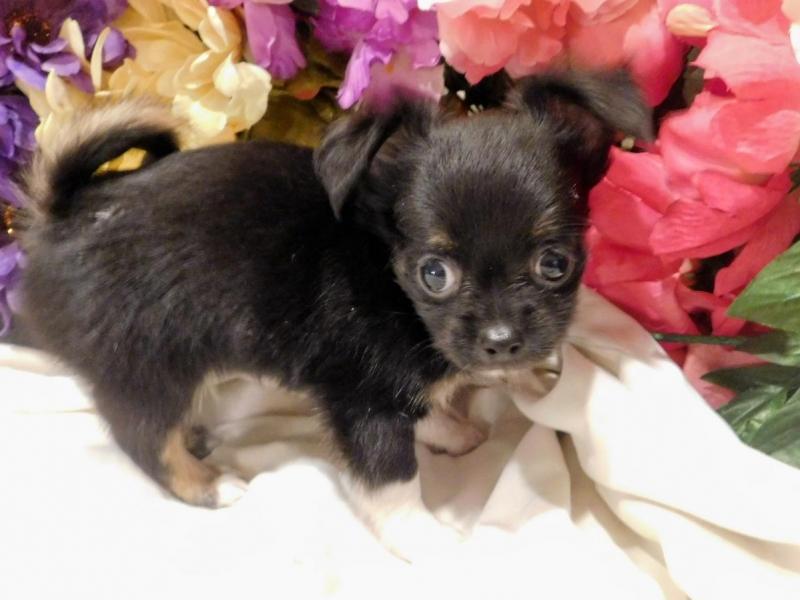 Chihuahua toy con pedigree Bergamo id. 14830