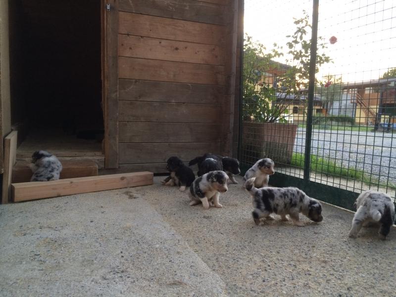 Cuccioli Australian shepherd  Bergamo - Annunci Zampettando