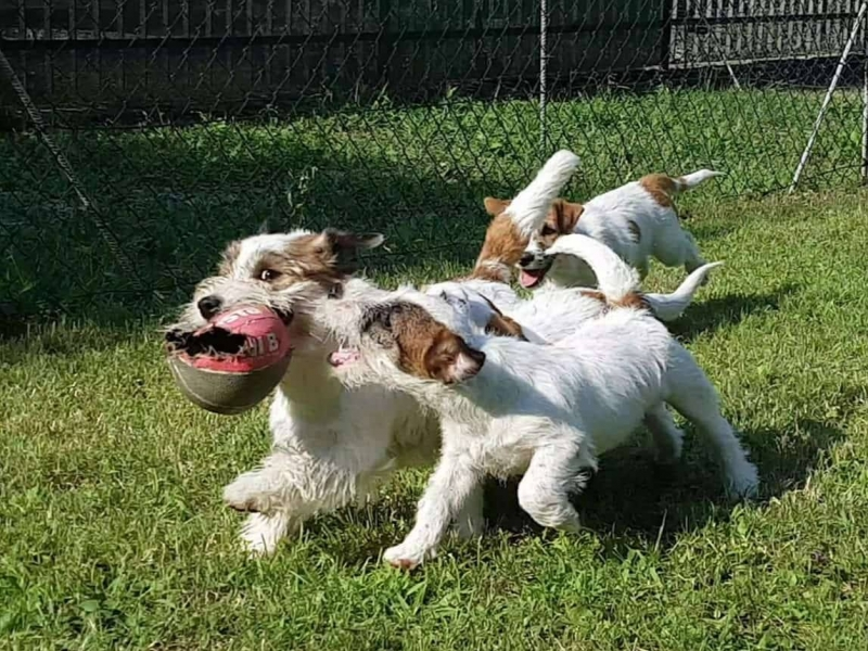 Cuccioli di Jack Russell  Brescia id. 16810