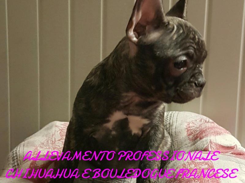 Bouledogue bulldog francese  Brescia id. 15440