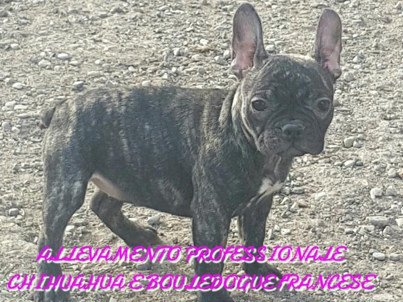 Bouledogue bulldog francese  Brescia - Annunci Zampettando
