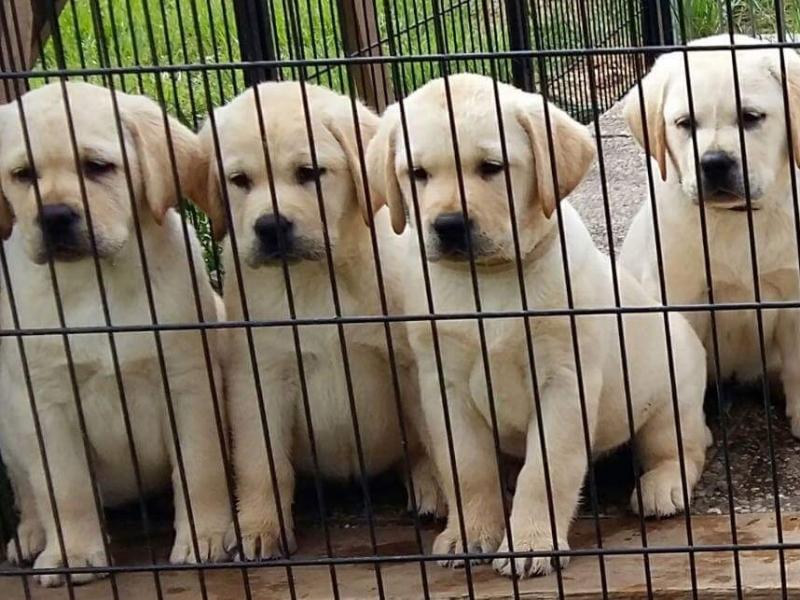 Cuccioli di Labrador Retriever disponibili Cremona - Annunci Zampettando