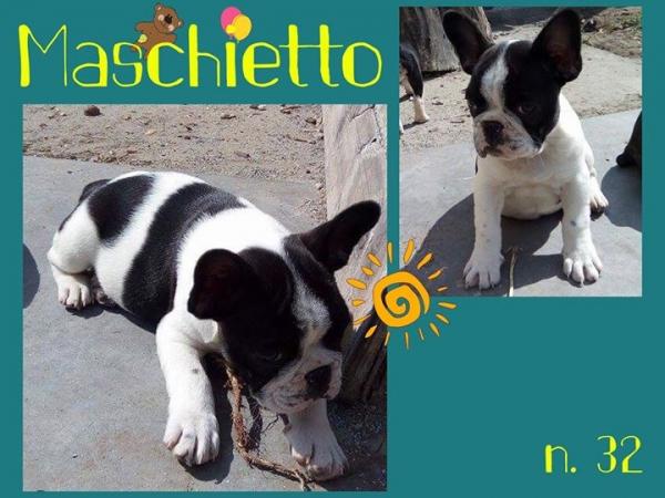 Cuccioli Bouledogue-Bulldog francese con Pedigree Mantova id. 11960