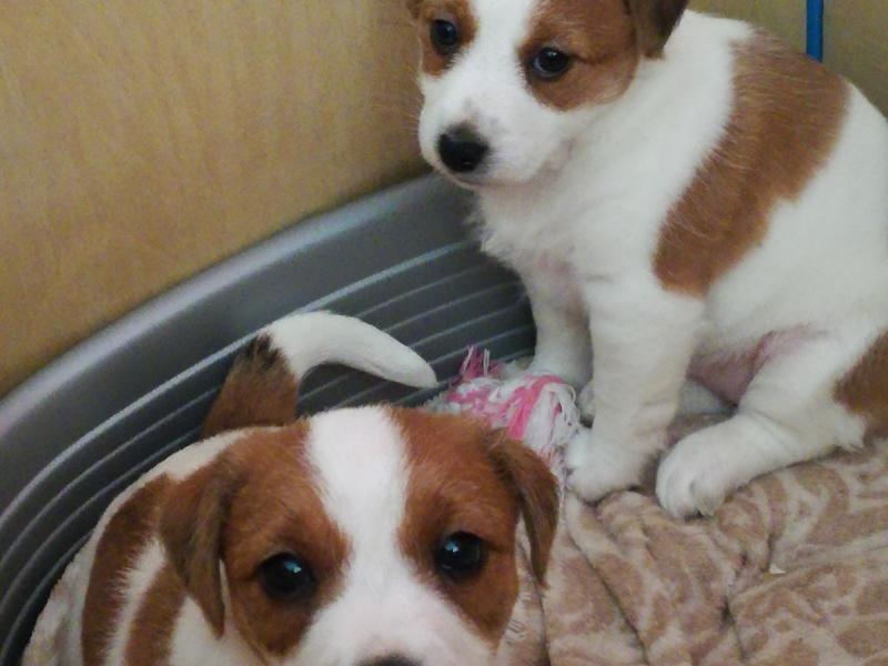 vendo splendidi cuccioli Jack Russell Terrier Trento id. 16385