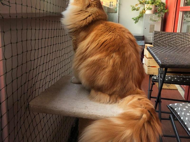 Gatto siberiano maschio per accoppiamento Trento - Annunci Zampettando