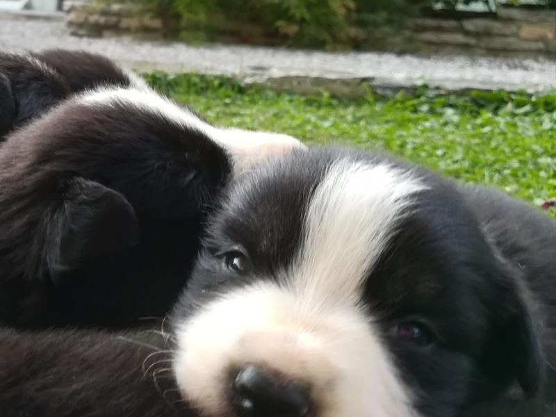 Cuccioli di Border Collie con pedigree Verona - Annunci Zampettando