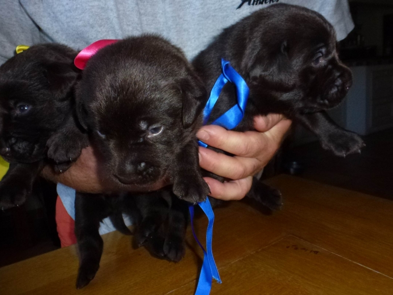 Disponibili cuccioli labrador chocolate Vicenza id. 16111
