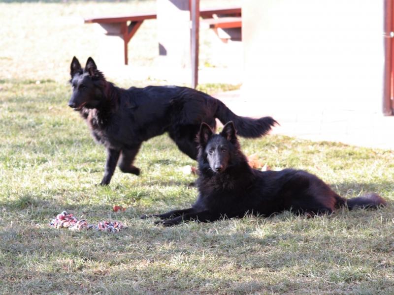 Cucciole pastore belga Vicenza - Annunci Zampettando