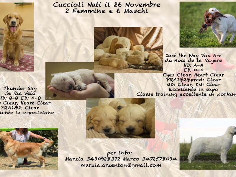 Cuccioli Golden Retriever Vicenza - Annunci Zampettando