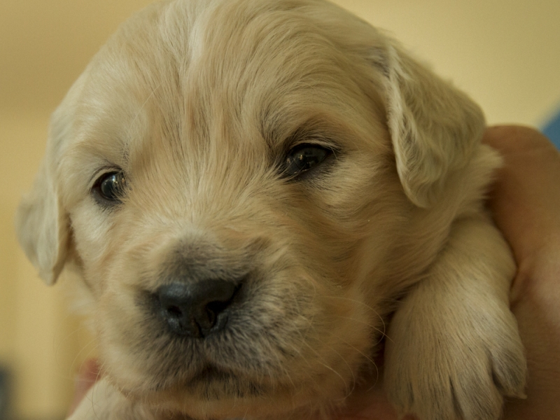 Cuccioli Golden Retriever Vicenza id. 16502