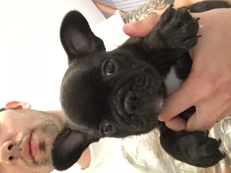 Bulldog francese Rovigo - Annunci Zampettando