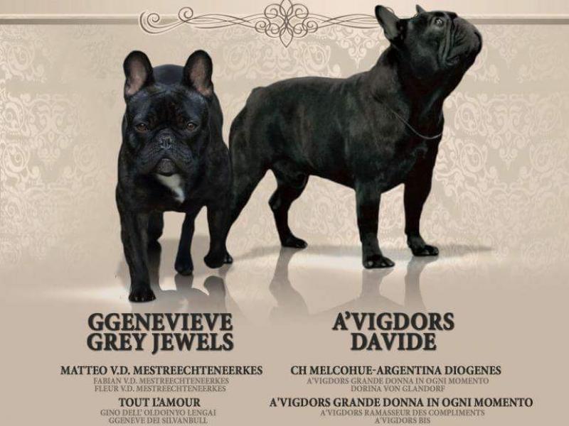 Cuccioli di Bouledogue Udine - Annunci Zampettando