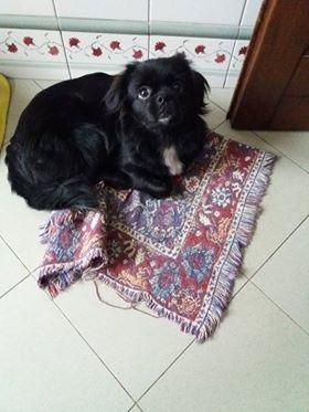Cucciola di Tibetan Spaniel Genova - Annunci Zampettando