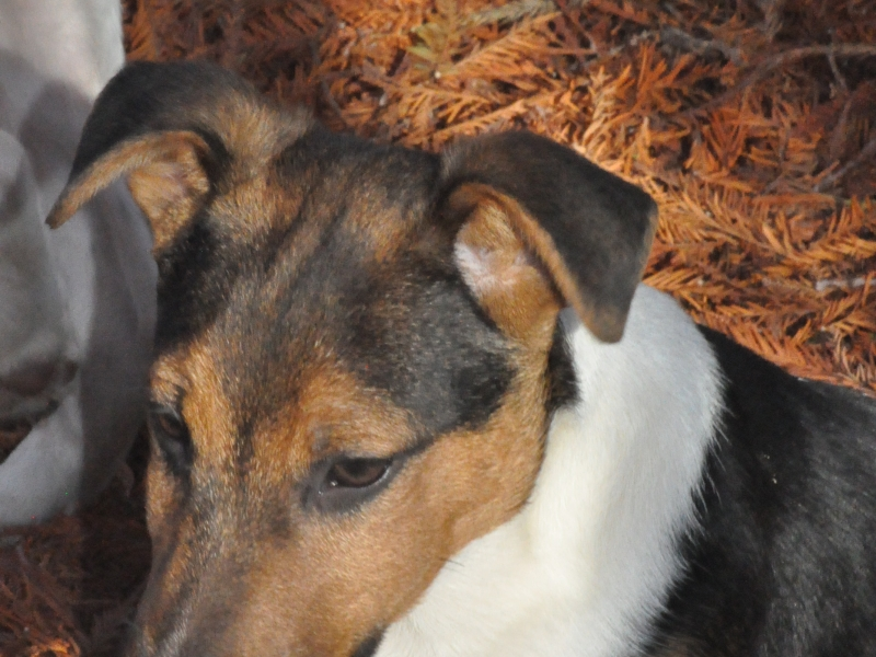 JACK RUSSELL Piacenza id. 16470