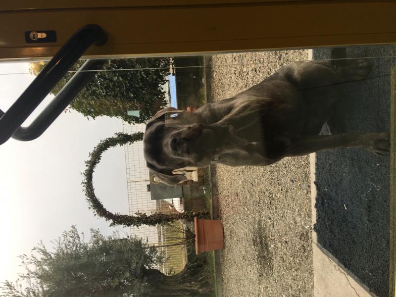 Regalo cucciolo di 8 mesi di cane corso grigio bellissimo Piacenza id. 15630