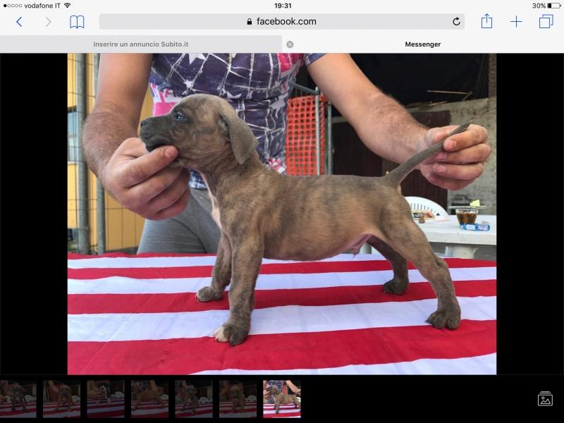 Cuccioli di american staffordshire terrier  Piacenza id. 15970